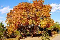 秋天一棵黄色的枫树