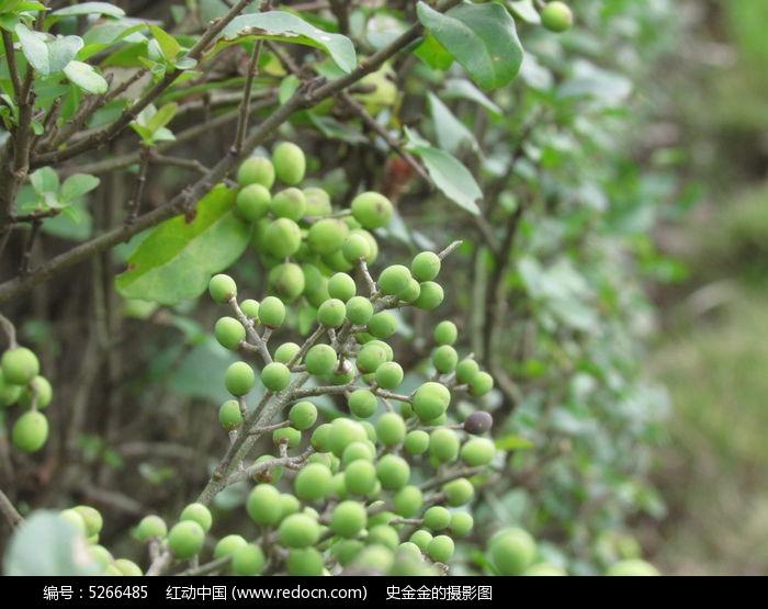 原创摄影图 动物植物 树木枝叶 绿色果实