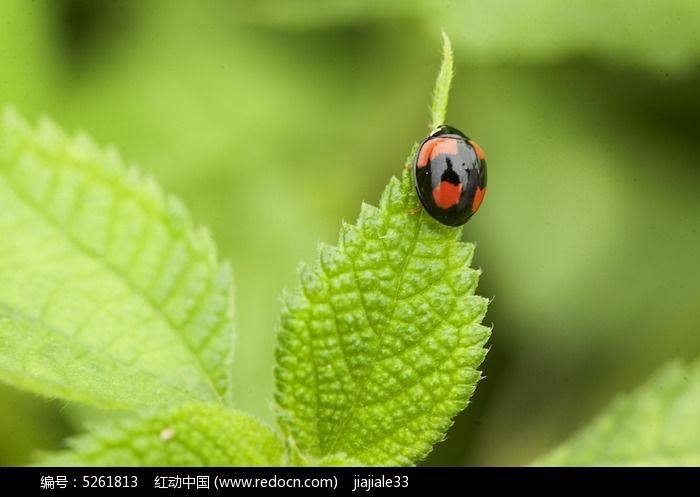 绿叶甲壳虫图片图片,高清大图_陆地动物素材
