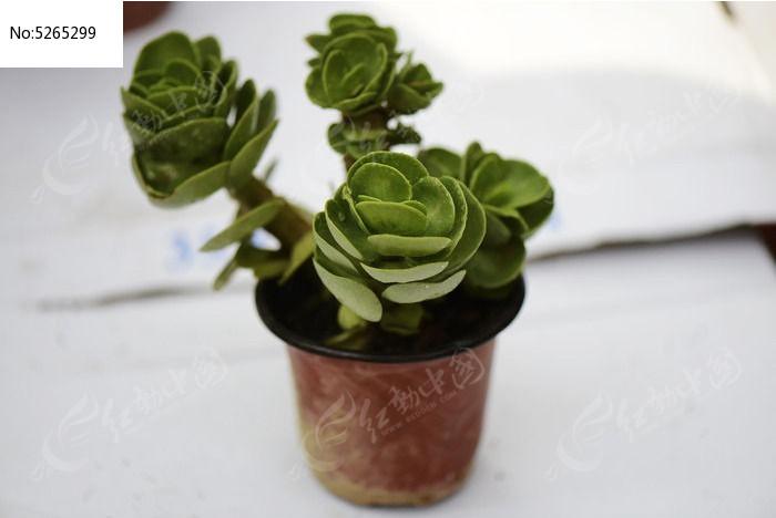 玫瑰花形多肉植物图片