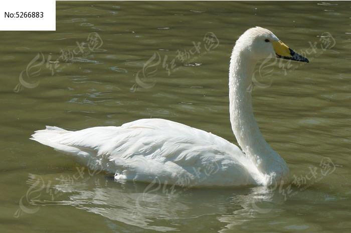 美丽白天鹅图片,高清大图_水中动物素材