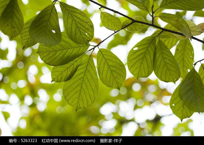 清新的叶子图片,高清大图_树木枝叶素材
