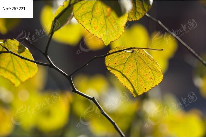 秋天的叶子图片,高清大图_树木枝叶素材_编号5263221
