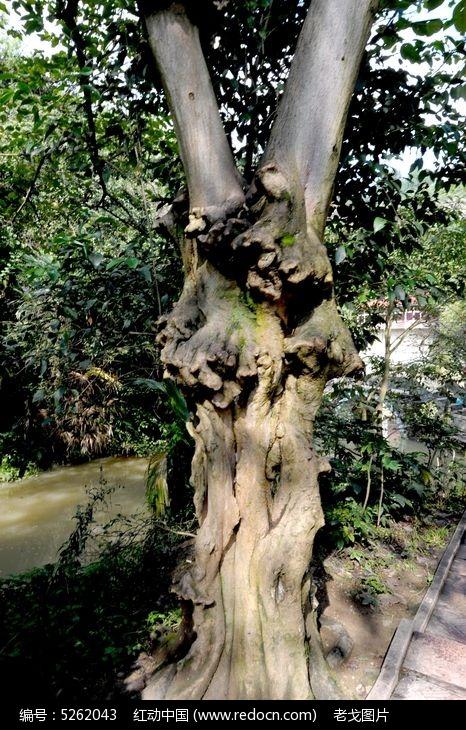 原创摄影图 动物植物 树木枝叶 树瘤  请您分享: 红动网提供树木枝叶