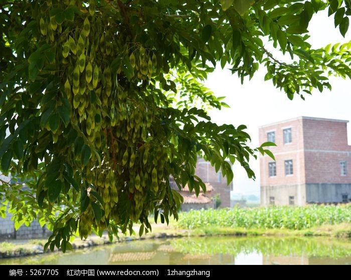 长豆的树图片,高清大图