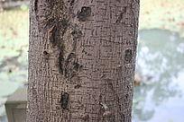 老树纹理图片