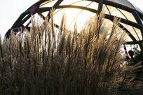 夕阳下的毛毛草