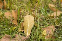 草地掩映的落叶