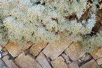 石头墙上长满青草花