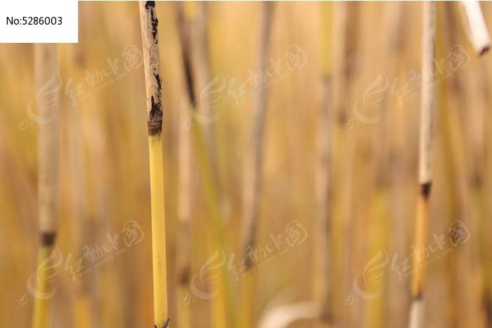 原创摄影图 动物植物 花卉花草 奥森公园的芦苇杆  请您分享: 素材