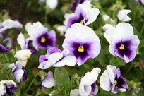 花坛里的小白花