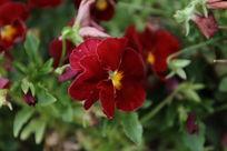 深红色的小花朵