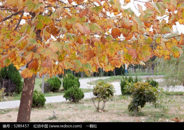 树叶金黄的梧桐树