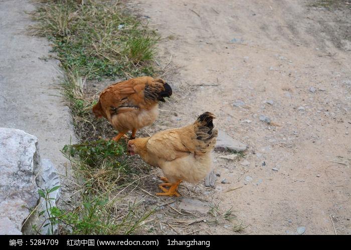 原创摄影图 动物植物 家禽家畜 走地鸡  请您分享: 红动网提供家禽