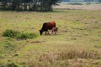 草地上吃草的母牛和她的孩子