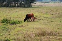草地上吃草的母牛和小牛