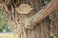额济纳旗名木古树图片