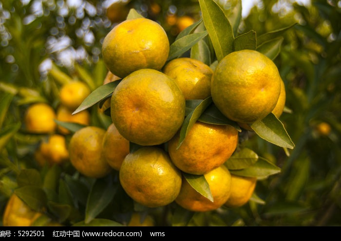 原创摄影图 动物植物 农作物 丰收的橘子