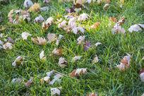 零落的枫叶