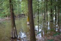 生长在水洼低处的树木