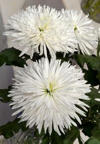 白色蕾丝菊花