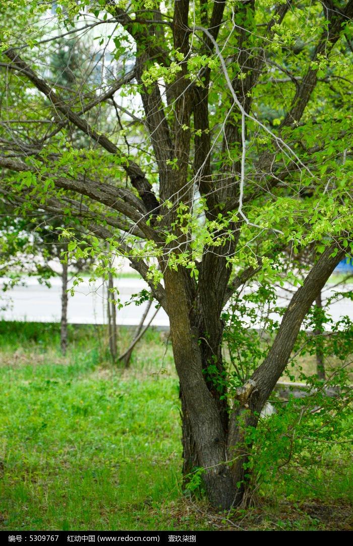 原创摄影图 动物植物 树木枝叶 稠李子树  请您分享: 红动网提供树木