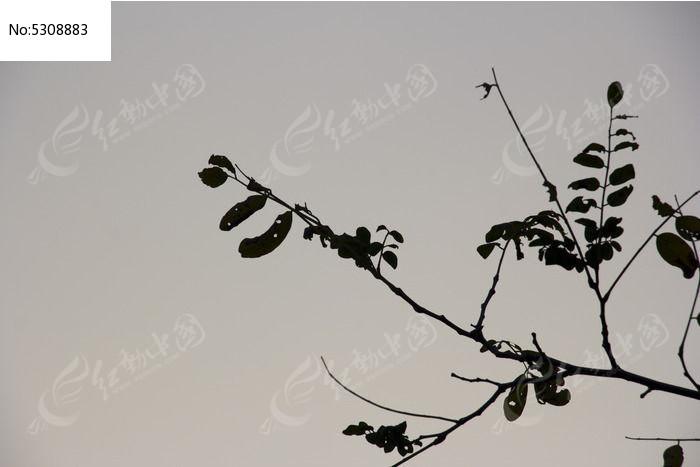 槐树叶剪影图片,高清大图_树木枝叶素材