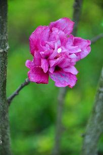 树枝上开的紫色花朵