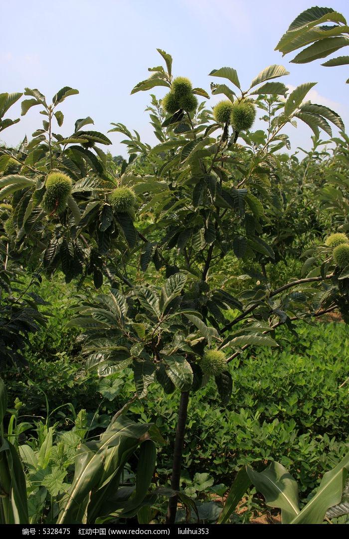 原创摄影图 动物植物 树木枝叶 板栗树  请您分享: 红动网提供树木