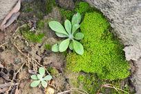 树根下的青苔
