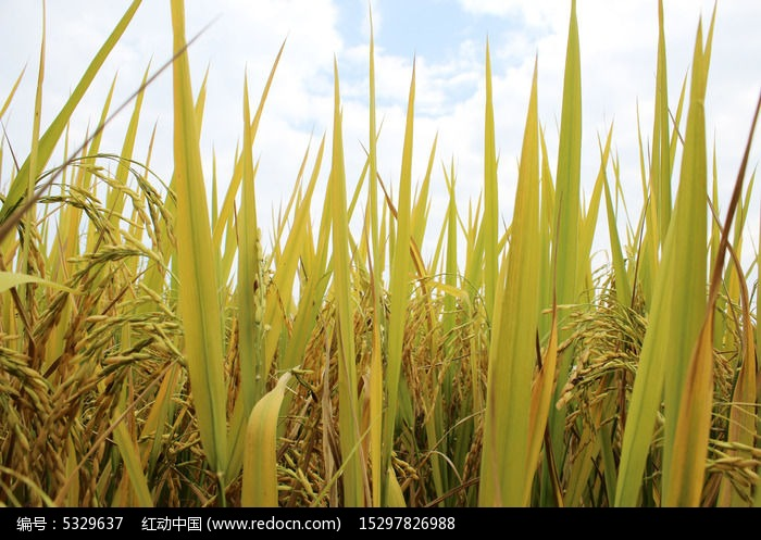 原创摄影图 自然风景 田野田园 有机富硒水稻