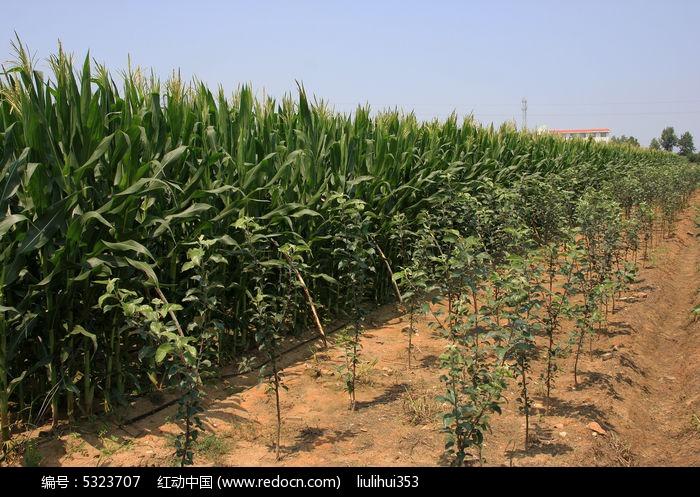 原创摄影图 动物植物 农作物 玉米地