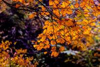 金黄的叶子