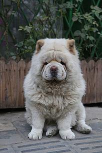可爱的宠物犬小狗八哥犬坐立姿态