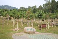 海南憋山寿谷的菩提树林