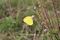 金黄色蝴蝶