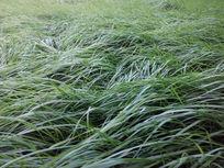 飘动的青草