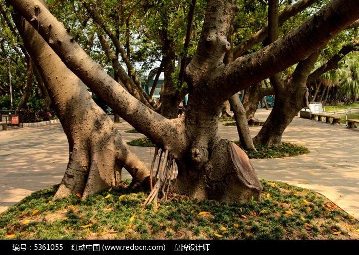 原创摄影图 动物植物 树木枝叶 印度橡胶榕树叉