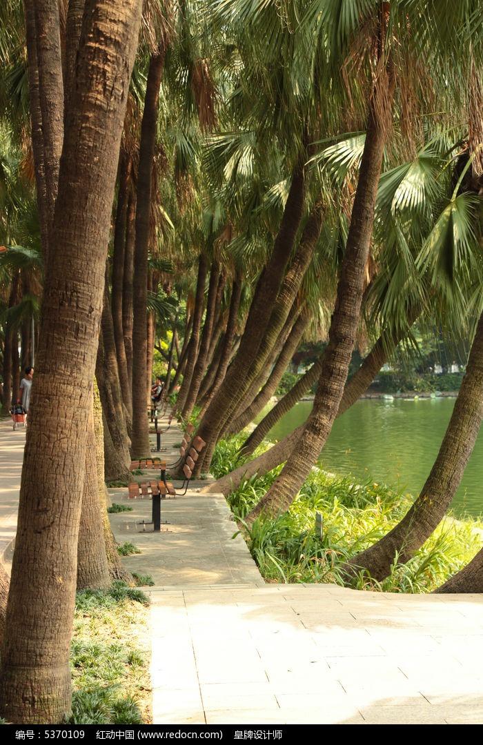 流花湖公园椰林图片,高清大图_树木枝叶素材