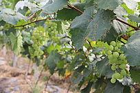 葡萄采摘园葡萄树特写