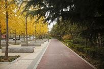 人行道旁的黄色银杏树