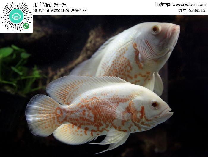 美丽的地图鱼图片,高清大图