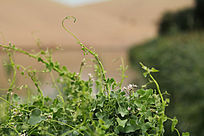 沙漠绿洲中的青草