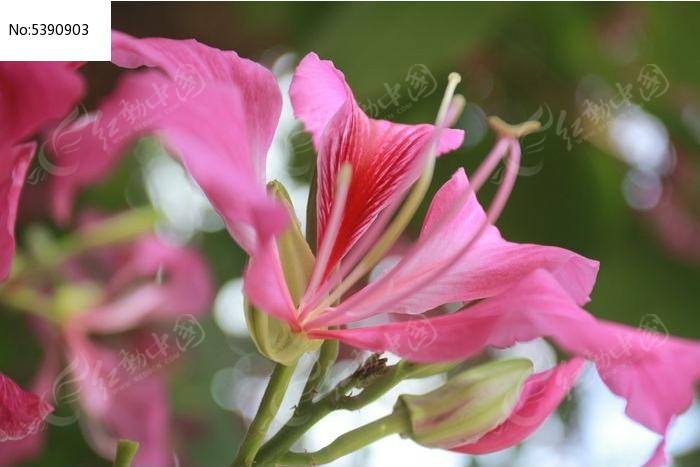 紫荆花图片,高清大图_花卉花草素材