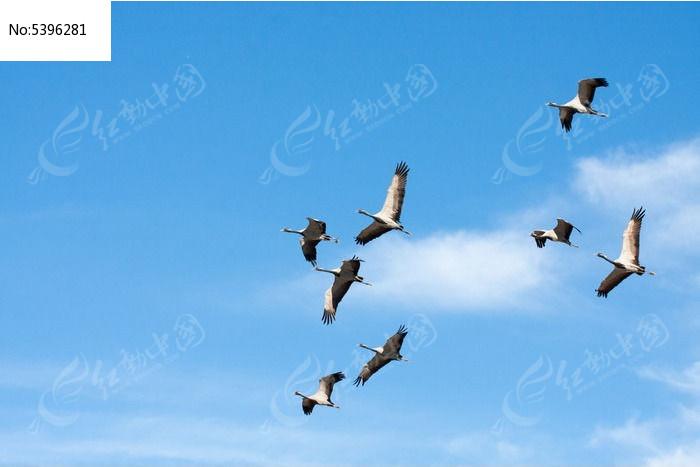 灰鹤翱翔蓝天图片,高清大图_空中动物素材_编号_红动