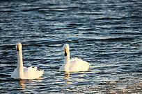 优雅的天鹅伴侣