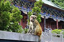 神农山迎客猴
