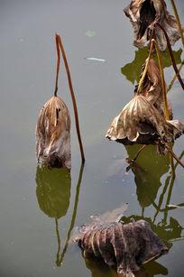 荷塘枯萎的荷叶
