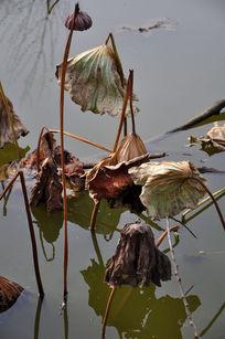 荷塘枯萎的莲子荷叶