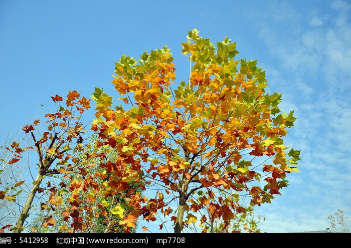 金秋枯黄色的梧桐树叶